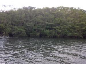 西表島 マングローブ ツアー